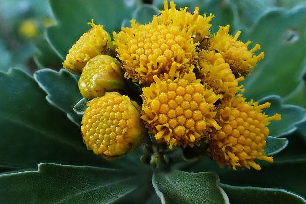 キイシオギクは多数の小さな花が集まって頭花を作ります。 筒状花のみで、舌状花はありません。