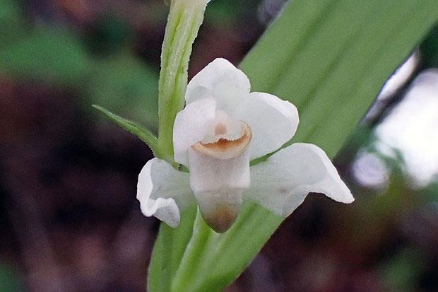 ササバギンラン  花が開いている状態はなかなか出会っていないので、パチリ。
