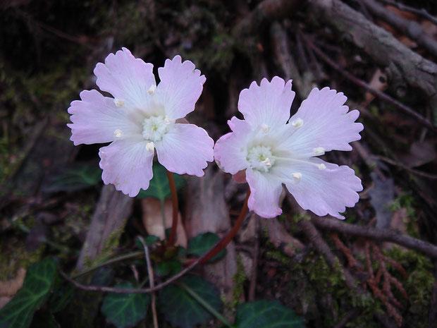 イワウチワ、 2006.05.01