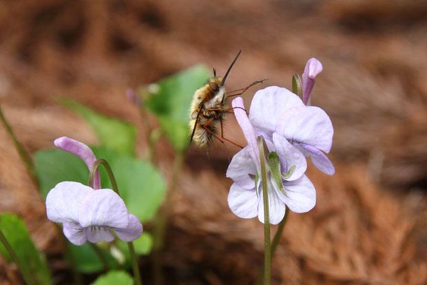 ナガハシスミレにビロードツリアブが訪花していた。 吸蜜するのか、休んでいるだけか?