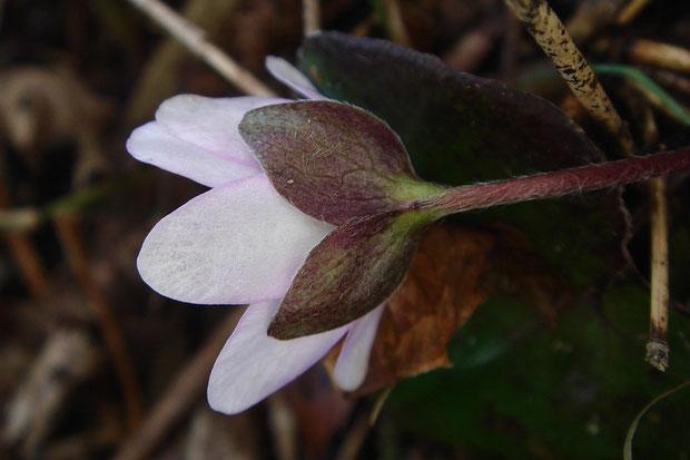 花弁に見える白っぽい部分は萼片で、萼片に見える部分は3片からなる茎葉です。 花弁はありません