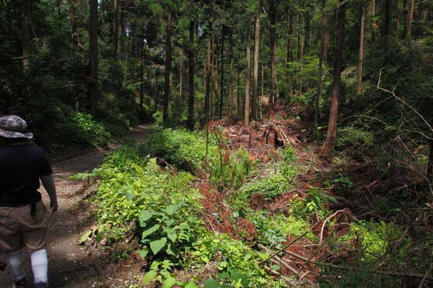 こういうのを間伐というの...? 計画性無く木を切り放置した感じ。 ここのツチアケビも失われた