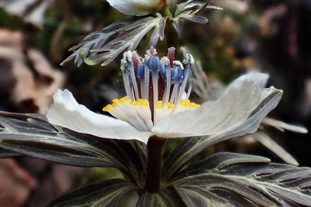 側面から見ると花弁の柄が見えます。 白い花弁状のものは萼片とわかります。 下の葉は苞葉です。