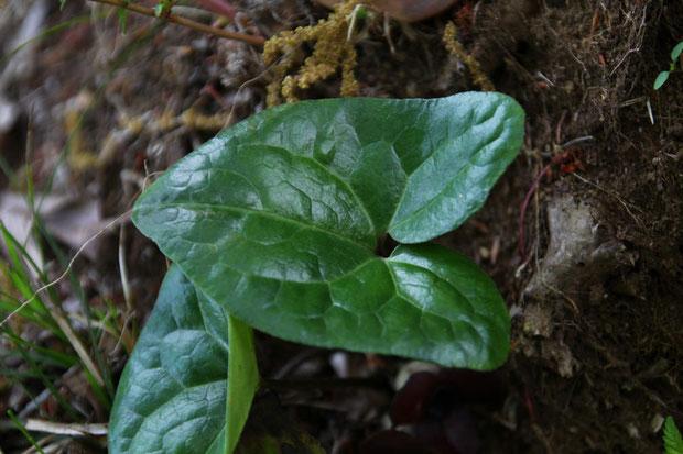 ランヨウアオイの葉の基部は耳状に張り出し、深い心形になります