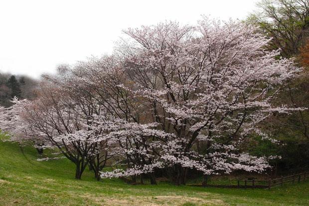 立派な桜の木があった