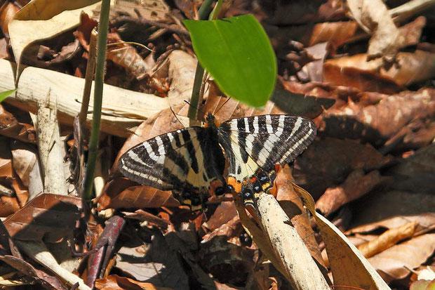 ギフチョウ (岐阜蝶)  カンアオイ属の植物の葉に卵を産み付けます