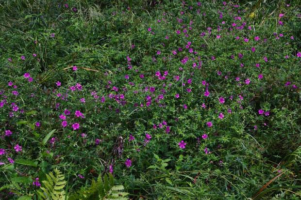 アサマフウロ (浅間風露) フウロソウ科 フウロソウ属  たくさん咲いていて賑やか!