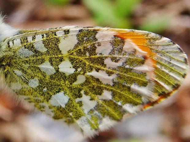 クモマツマキチョウ  この唐草模様は保護色として、とても優れていると思いました。
