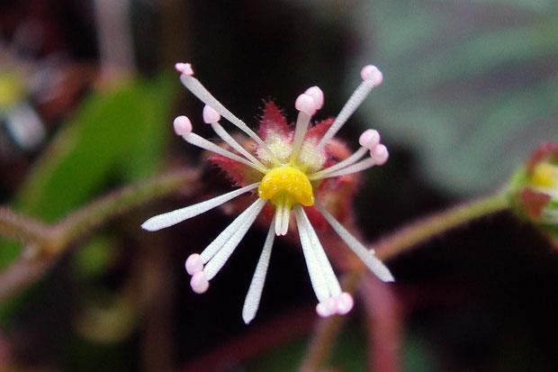 #13 すべての花弁を雄しべに変化させ、左右相称花から放射相称花に変身した、究極の(?)のホシザキユキノシタの花