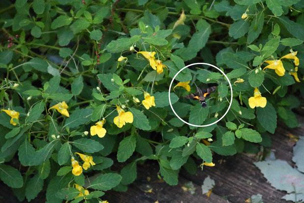 ホウジャクが来ていたが... 1つの花に1〜2秒しか滞在せず、素早く飛び回るのでまったく捉えられない