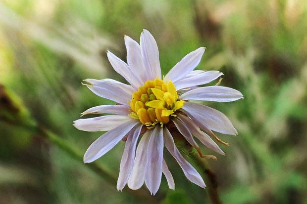 ウラギク  筒状花の一部が開き始めた花