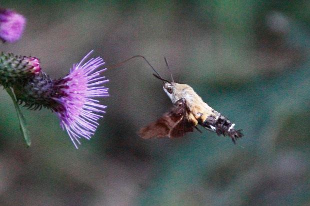 ヒメクロホウジャクかな? 素早く移動してはピタリと空中に静止し、長い口吻を伸ばして蜜を吸います