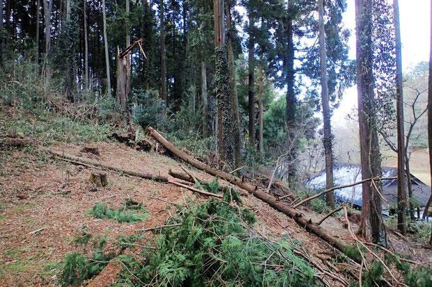 先日の雪の影響なのか、自生地に倒れ込んだ倒木が生々しい