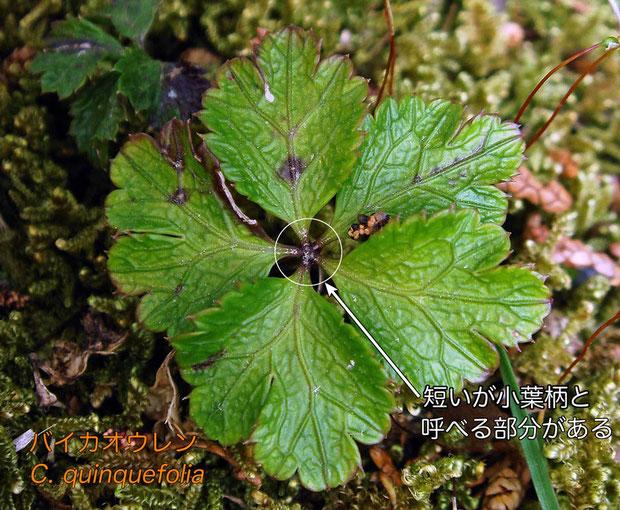 #6 バイカオウレン Coptis quinquefolia の葉  2013.04.20 長野県