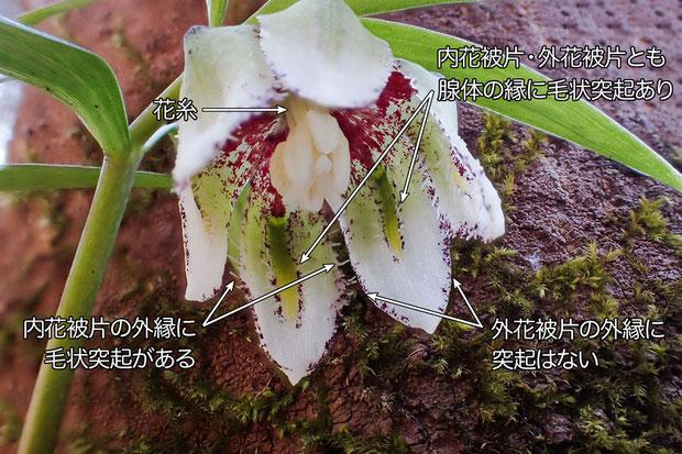#12 コシノコバイモの花 2017.03.26 新潟市 alt=165m