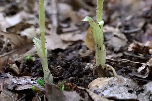#14 カイサカネランの茎の基部には鞘状葉がある