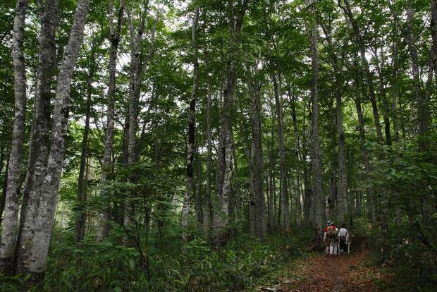 ブナ林の中を行く。 アップダウンが少なく歩き易い。 花はギンちゃんばっかり。