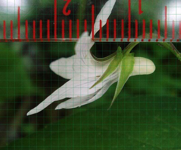 タデスミレの花の唇弁の先端から距の後端までは約17.5mm (1メッシュ=約1mm)