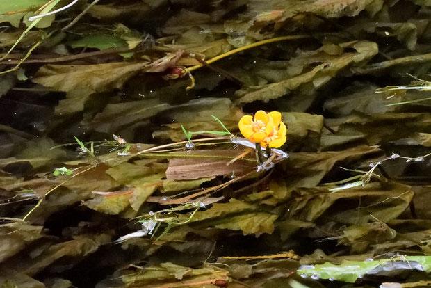 シモツケコウホネはすべて沈水葉ですが、ナガレコウホネは稀に抽水葉をつくるそうです