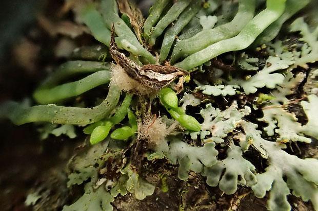 クモランの蕾。 綿毛状のものは、昨年の果実の殻