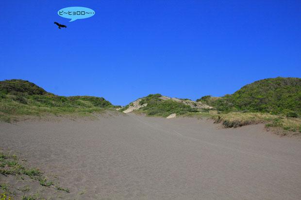 自生地の様子 砂の上は照り返しでとても暑かった  上昇気流に乗り、トビがのんびり飛んでいた