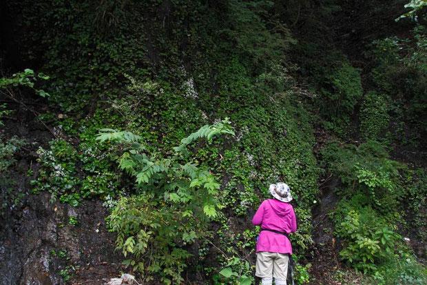 ダイモンジソウ自生地 湿った岩肌を覆い尽くすようにダイモンジソウなどが生えている