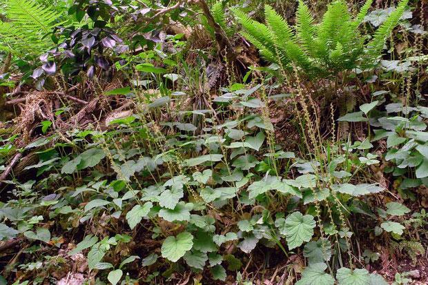 #3 コシノチャルメルソウは渓流沿いに生える 2006.05.06 新潟県燕市