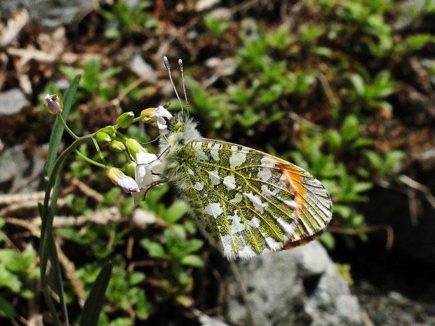 クモマツマキチョウ  ♀(雌)は翅の表が白くオレンジ色はないそうです。
