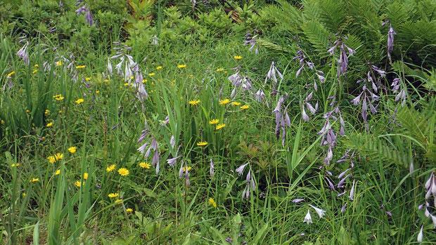 コバギボウシ (小葉擬宝珠) キジカクシ科 ギボウシ属  野反湖でもたくさん咲いていた