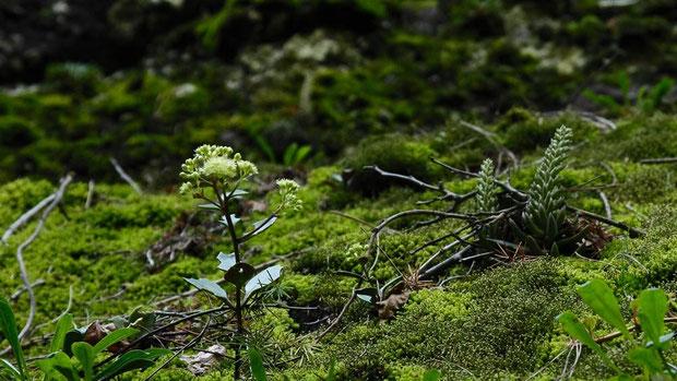#5 チチッパベンケイとツメレンゲの競演。ツメレンゲはまだ咲き出していません。