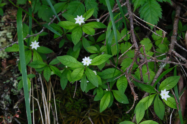 ツマトリソウ (褄取草) サクラソウ科 ツマトリソウ属  たくさん咲いていた