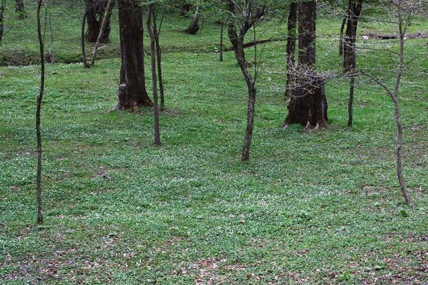 #4 林下の広大な範囲に花を咲かせるニリンソウ 2016.04.30 長野県北佐久郡 alt=950m