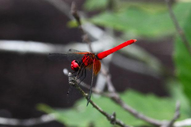ハッチョウトンボ (八丁蜻蛉) トンボ科 ハッチョウトンボ属  体調は2cmほどで、日本で最小のトンボ