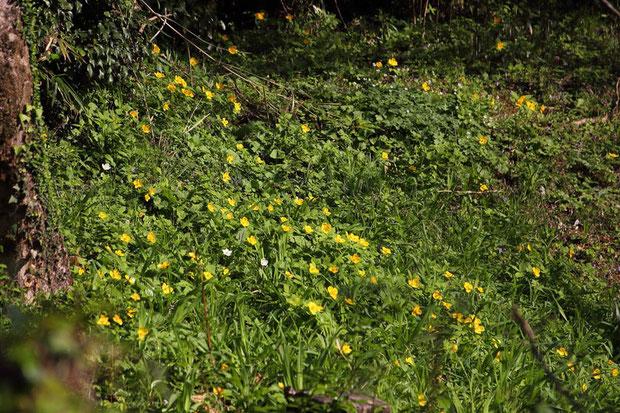 ヤマブキソウ (山吹草) ケシ科 ヤマブキソウ属  イチリンソウやニリンソウなども一緒に咲いていた