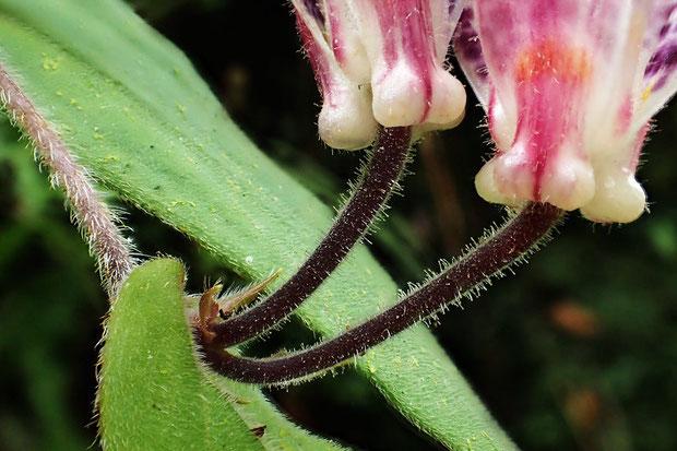 茎には上向きの毛が密生します。葉にも毛があり、花柄には腺毛が生えます。花被の外側にも微毛が。