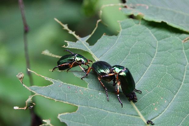 ヒメスジコガネ と思われる甲虫。 イタドリに何十匹といて葉を食べていた