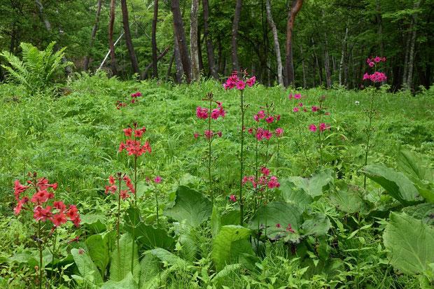 クリンソウ (九輪草) サクラソウ科 サクラソウ属 日本固有種  久しぶりに近くで見た気がする