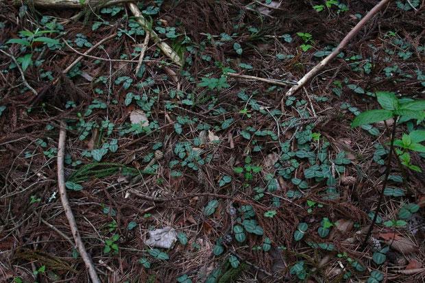 アオフタバラン 花が咲くのはずっと後  この周辺はものすごく密度が高かった