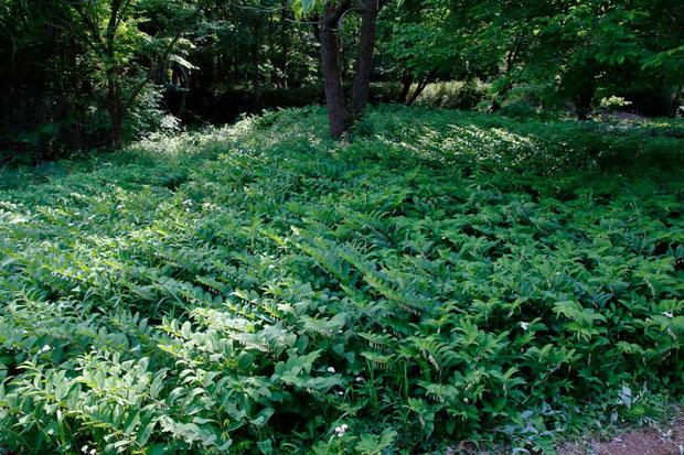 アマドコロ (甘野老) キジカクシ科 アマドコロ属  至る所に群生。 ここの下草はほとんどがアマドコロ