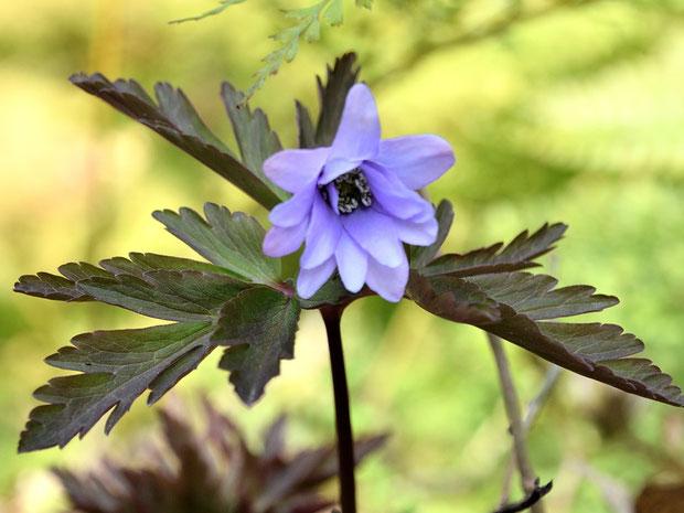 キクザキイチゲ 白色の花も美しいが、ブルーにも目を奪われる