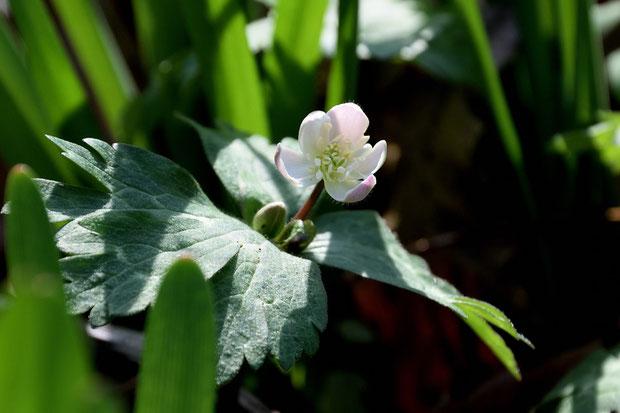 ニリンソウ (二輪草) キンポウゲ科 イチリンソウ属  こちらも咲き始め
