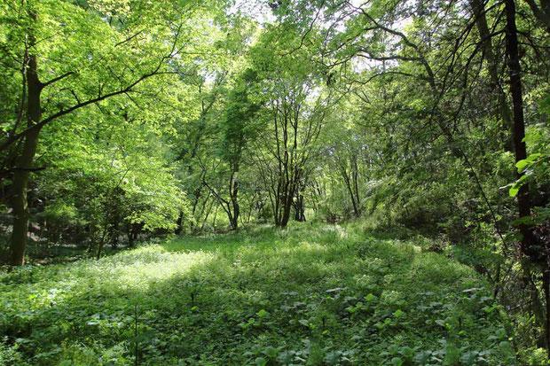 里山の新緑も濃さを増してきているようだ。 野鳥の歌声に癒やされる