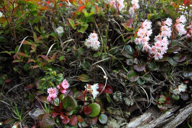 ヒメイワカガミと変わらない小ささのイワカガミが、気になった(左下の花)