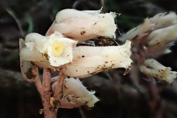 全体に白っぽい短毛が密生。 茎は淡紅色を帯びているようにも見え... 本当にシャクジョウソウ??