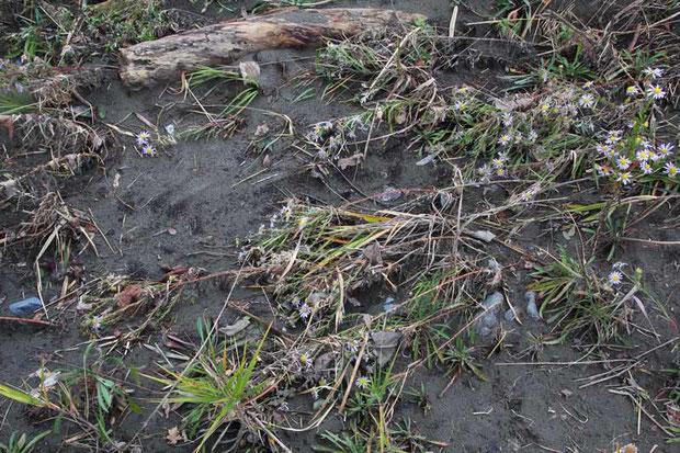 川に近い領域では氾濫が起こり、カワラノギクもなぎ倒されていました