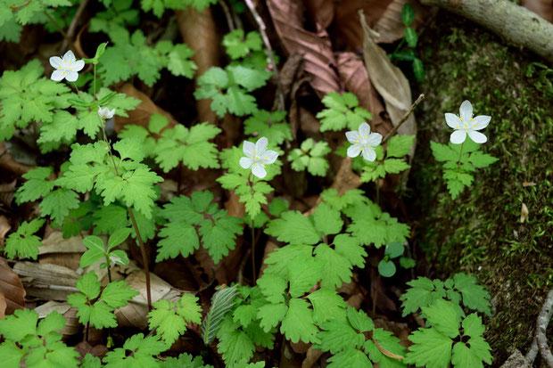 シロカネソウ (白銀草) キンポウゲ科 シロカネソウ属  見頃の状態で、とても数が多かった。