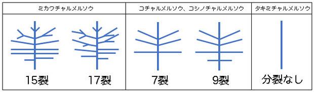 #18 チャルメルソウの仲間の花弁の模式図