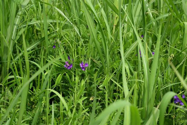 ヨシなど他の植物に埋もれるように、レンリソウが咲いていた  2017.05.04 埼玉県 alt=5m