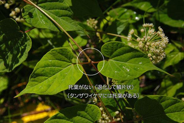 タンザワイケマにはある托葉がない(退化して鱗片状)のもこの植物の特徴