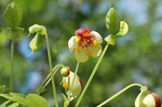 アズマシロカネソウ 花弁に見えるのは萼片で、花弁は橙黄色の部分。 2個の袋果は魚の尾のようにY字〜T字に広がります。